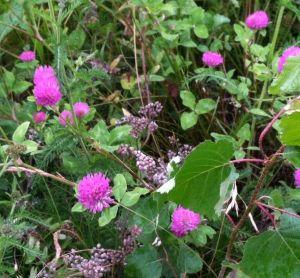 Hot pink clover.