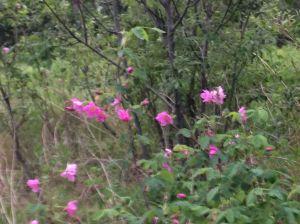 Tundra Roses